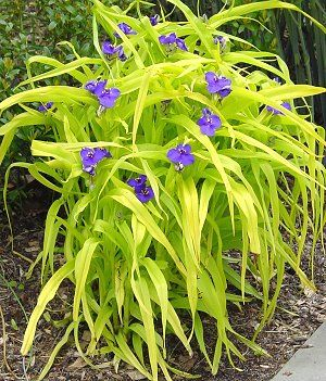 Sweet Kate spiderwort